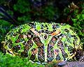 120px-Argentine_horned_frog_(Ceratophrys_ornata)-1