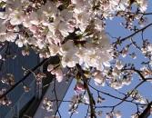 桜20210329